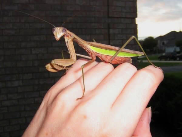 Praying-Mantis-DA-blog1