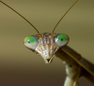 Praying-Mantis-eyes